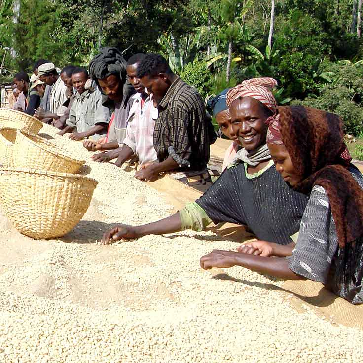 Direct Vs Fair Coffee Farmers